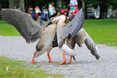 Male Swan goose in fight. In bavaria Royalty Free Stock Photography