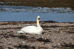 Male Swan Guarding Nest on a Coastal Beach. Male swan guarding a nest on a coastal beach in Scotland Stock Photos