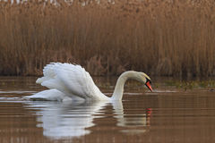 Male swan looks at reflection in the water Stock Photo