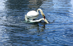 Male swan mounting female swan prior to mating. Swans getting ready to mate at Lake Eola park in downtown Orlando, Florida Stock Photo