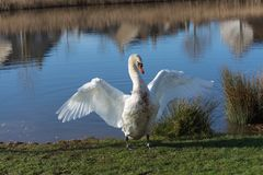 Swan spreads wings Stock Photography