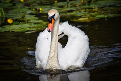 Male Swan. Swimming along on the lake Royalty Free Stock Photos