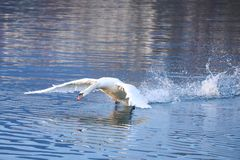 Male swan takeoff. From the lake royalty free stock images