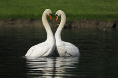 Male swans. Two male swan dancing. Necks design a kind of heart Stock Photography