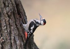 The male of a Syrian woodpecker on a tree. Shot from an unusual angle isolsted on beige background Stock Image