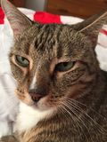 Male Tabby Cat with Green Eyes. Male cat with diabetes needs lots of rest Royalty Free Stock Photography