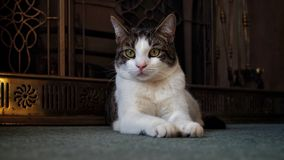 Male Tabby Cat At Home royalty free stock photos
