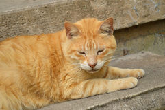 Male tabby cat laying on concrete step. Yellow, male tabby cat laying on concrete step, sleeping Stock Image