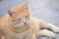 Male tabby cat. Laying on sidewalk Royalty Free Stock Images