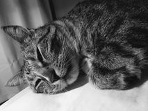 Male Tabby Cat Resting. Male cat with diabetes needs lots of rest Royalty Free Stock Photos