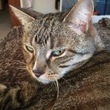 Male Tabby Cat Resting Royalty Free Stock Photos