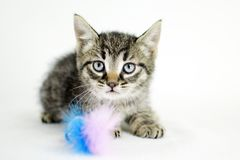 Tabby kitten, animal shelter adoption photography. Male tabby tiger kittie with feather cat toy on white background. Pet adoption photography for Walton County stock photo