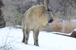 Male takin in snow 2013 4. A young male takin stands in the snow with his eyes closed Royalty Free Stock Photos