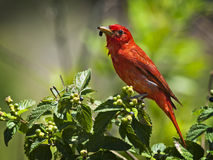 Male tanager. Male summer Tanager sitting of green bush eating a berry Royalty Free Stock Photography