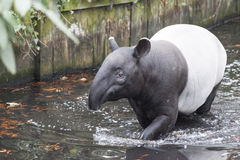 The male tapir swimming in a river in the jungle . The male tapir swimming in a river in the jungle Stock Image