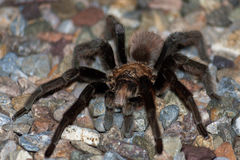 Male Tarantula Focus On Eye. A male desert tarantula crosses a gravel surface in the Sonoran desert.  You can see his mating hooks and he has sand specks and on Royalty Free Stock Photography