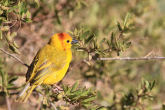 The male of taveta golden weaver. Sits on a branch of brightly green bush Royalty Free Stock Photos