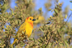 The male of taveta golden weaver. Sits on a branch of brightly green bush Royalty Free Stock Images