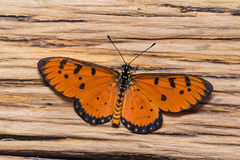 Male tawny coster butterfly stock photo