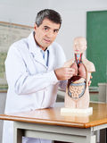 Male Teacher Examining Anatomical Model At Desk Royalty Free Stock Image
