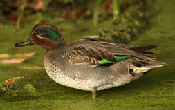 A male Teal Anas crecca searching for food in the duck weed. Stock Photography