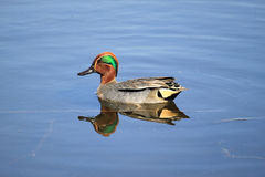 Male Teal Duck Anas Crecca royalty free stock images