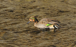 Male Teal Royalty Free Stock Image