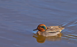 A male Teal in the evening sun. The favorable light of a spanish winter evening displays the appealing colors of a male Eurasian Teal´s (Anas crecca) feathers Royalty Free Stock Photo