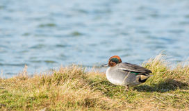 Male Teal at a lakes' shore. A colourful male European Teal (Anas crecca) rests upon the grass of the shore of a Dutch lake, enjoying the rare sunshine during a Stock Images