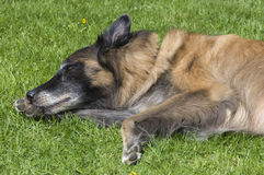 Male Tervuren Cleaning his Paw. A male Tervuren (a member of the belgian shepherd dogs) is lying on the green grass, cleaning his paw Royalty Free Stock Photography