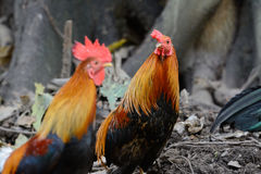 Male Thai native rooster. Beautiful male Thai native rooster Stock Photo