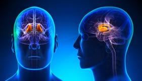 Male Thalamus Brain Anatomy - blue concept Stock Photo