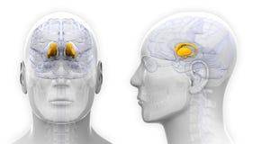 Male Thalamus Brain Anatomy - isolated on white Royalty Free Stock Images
