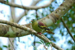 Male Thick-billed Green-Pigeon (Treron curvirostra) Stock Photos