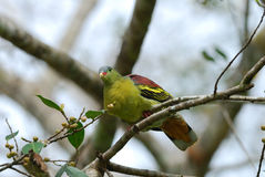 Male Thick-billed Green-Pigeon (Treron curvirostra) Royalty Free Stock Photo