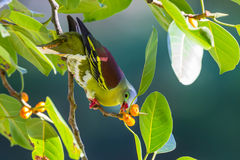 Male Thick-billed Green Pigeon Royalty Free Stock Photo