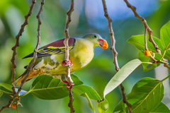 Male Thick-billed Green Pigeon Royalty Free Stock Images