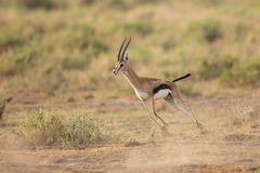 Male Thompson's Gazelle running in Amboseli National Park, Kenya. One adult Male Thompson's Gazelle running in Amboseli National Park, Kenya Stock Image