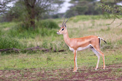 Male Thomson's Gazelle. A Male Thomson's Gazelle in the Serengeti Stock Images