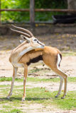 Male Thomson's gazelle Royalty Free Stock Photography