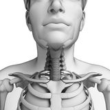 Male throat anatomy artwork Royalty Free Stock Photos