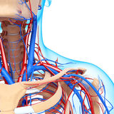 Male throat nervous and circulatory system Royalty Free Stock Photo