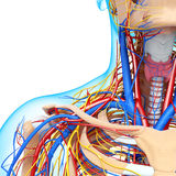 Male throat nervous and circulatory system. 3d art illustration of Male throat nervous and circulatory system Stock Image