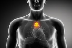 Male thymus anatomy Stock Photography