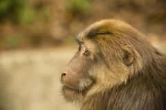 Male Tibetan Macaque Head Profile. With beautiful thick golden brown fur, the expressive eyes and face of this young male Tibetan Macaque in Tangijahe National Royalty Free Stock Photo