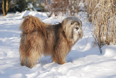 Male Tibetan Terrier. In the snow Stock Photography