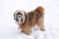 Male Tibetan Terrier. In the snow Royalty Free Stock Photos