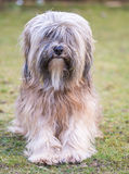 Male Tibetan Terrier Dog. A male purebred tibetan terrier dog Royalty Free Stock Images