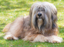 Male Tibetan Terrier Dog. A male purebred tibetan terrier dog lying in the grass Royalty Free Stock Image