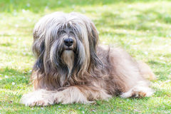 Male Tibetan Terrier Dog. A male purebred tibetan terrier dog lying in the grass Royalty Free Stock Photography